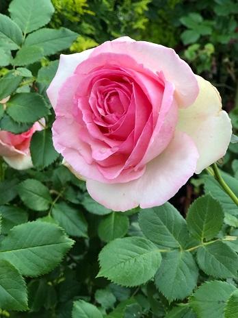 ピンクの薔薇19.516.jpg