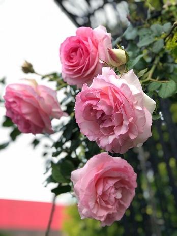 ピンクの薔薇たち19.5.16.jpg