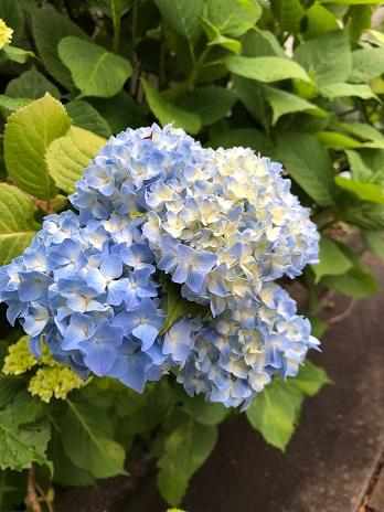 紫陽花②19.5.28.jpg
